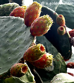 kaktusfeige und feigenkaktus opuntia ficus indica. Black Bedroom Furniture Sets. Home Design Ideas