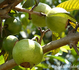 Obst Und Sudfruchte Exotisches Aus Dem Eigenen Garten
