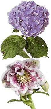 Christrosen und hortensien