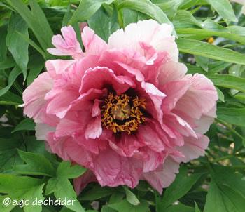 pfingstrosen - päonien. die arten und sorten der gattung paeonia, Garten dekoo