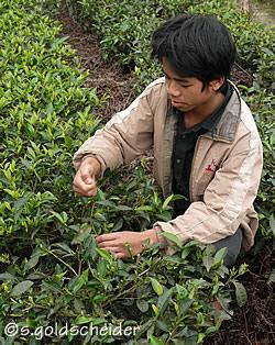 japanischer tee mit viel egcg