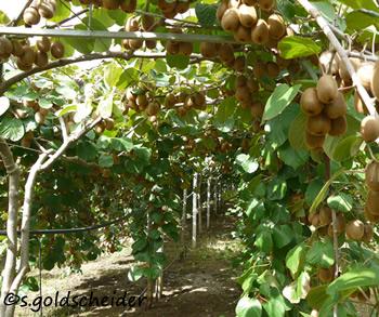 exotisches Saatgut Garten immergrüne Pflanze frosthart Exot Obststrauch MINIKIWI