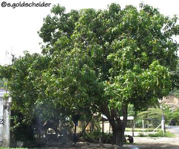 Mango - Gartenbau beschattet ...